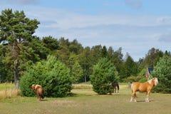 Hästar på lantgård Royaltyfri Bild