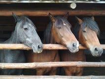 Hästar på lantgården royaltyfria bilder