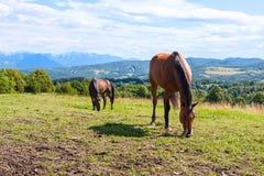 Hästar på Mauntain betar Royaltyfria Bilder