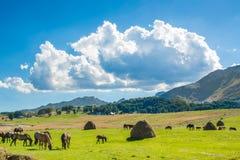 Hästar på plockningfältet royaltyfria foton