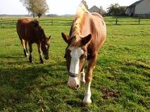 Hästar på sätta in Royaltyfria Foton