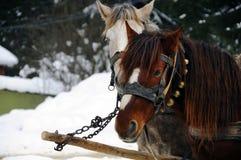Hästar på snöbakgrund arkivbild