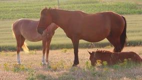 Hästar på solnedgången arkivfilmer