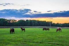 Hästar på solnedgången Fotografering för Bildbyråer
