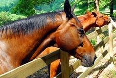 Hästar på staketet Arkivbild