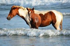 Hästar på stranden, Playa El Espino Arkivfoto