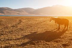 Hästar på Tsomoriri sjön Royaltyfria Bilder
