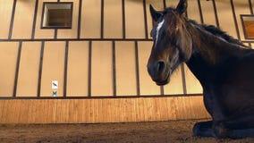Hästar på utställningauktionen lager videofilmer