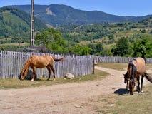 Hästar på vägen Arkivfoton