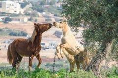 Hästar på våren Royaltyfria Bilder