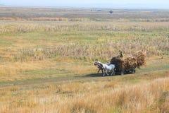 Hästar på vagnen med majskolvar Arkivfoto