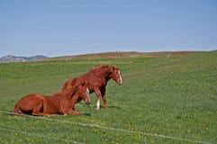 hästar quarter två upp att vakna Royaltyfri Bild