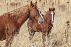 Hästar sätter in in Fotografering för Bildbyråer