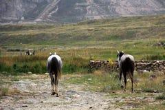 Hästar solnedgång, Laar, Iran Arkivfoton