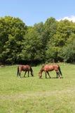 2 hästar som äter gräs Arkivbild