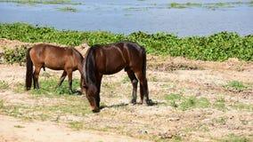 Hästar som äter gräs stock video