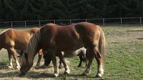 Hästar som äter hö på lantgården arkivfilmer