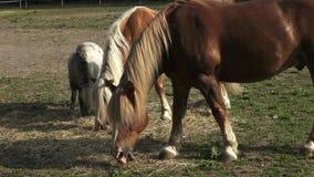 Hästar som äter hö på lantgården stock video