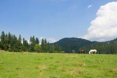 Hästar som betar i ängen Arkivfoto