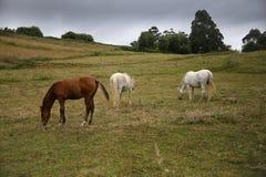 Hästar som betar i ängen Arkivfoton