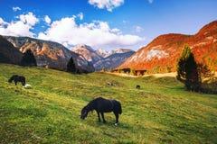 Hästar som betar i alpina ängar på hösten Royaltyfri Foto