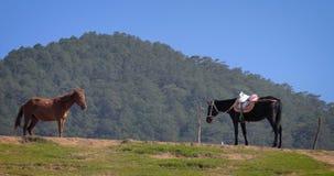 Hästar som betar i bergen av Vietnam stock video