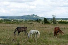 Hästar som betar i den Kali handfatet, Ungern arkivfoton