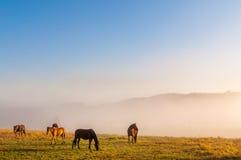 Hästar som betar i dimmig äng på soluppgång Royaltyfria Bilder