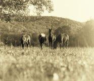 Hästar som betar i en äng Royaltyfri Foto