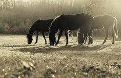 Hästar som betar i en äng Arkivbilder