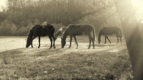 Hästar som betar i en äng Arkivbild