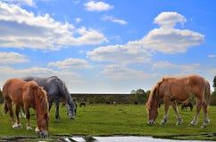Hästar som betar i en äng Royaltyfri Fotografi