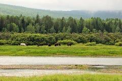 Hästar som betar i en äng vid floden, Sibirien arkivfoton