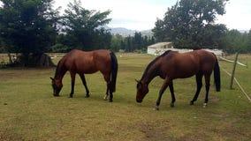 Hästar som betar i en padock Fotografering för Bildbyråer