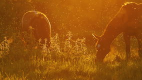 Hästar som betar i panelljus på solnedgångultrarapid 2 arkivfilmer