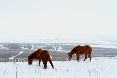 Hästar som betar i snö under vinter fotografering för bildbyråer