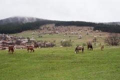 Hästar som betar i vägrenen, betar Sikt av den folk museumZheravna byn i Bulgarien arkivbild