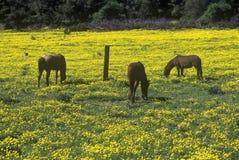 Hästar som betar i vårfältet, Santa Paula, CA royaltyfria bilder