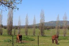 Hästar som betar med ett Mountain View landskap royaltyfria bilder