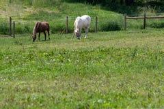 Hästar som betar med tomt område på botten Arkivbild