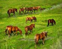 Hästar som betar på ängen. Arkivfoton