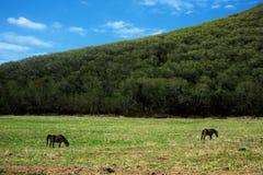 Hästar som betar på en grön äng Royaltyfria Bilder