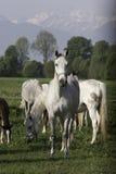 Hästar i bergen arkivfoton