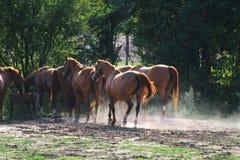 Hästar som dricker från samma, tankar ho, när solen går ner Arkivfoto