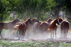 Hästar som dricker från samma, tankar ho, när solen går ner Royaltyfria Bilder