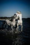 Hästar som fostrar och biter Arkivbild