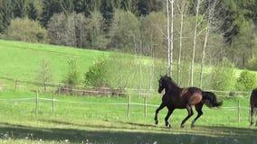 Hästar som fritt galopperar på äng stock video