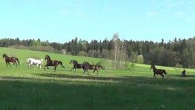 Hästar som fritt galopperar på äng arkivfilmer