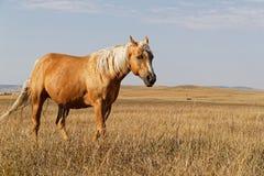 Hästar som går i ett landskap av slättar, North Dakota arkivfoton