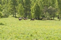 Hästar som går i fältet Royaltyfri Bild